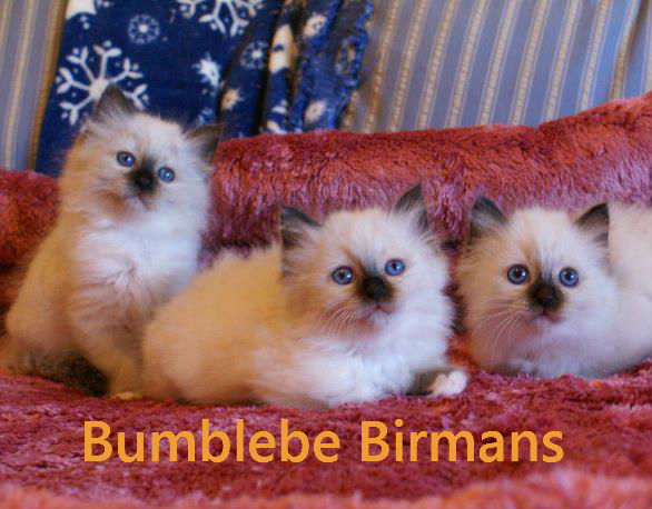 Texas Breeders | Breeder Directory | Cat Bright Classifieds