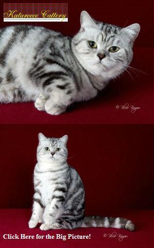 British Shorthair Breeders | Breeder Directory | Cat Bright