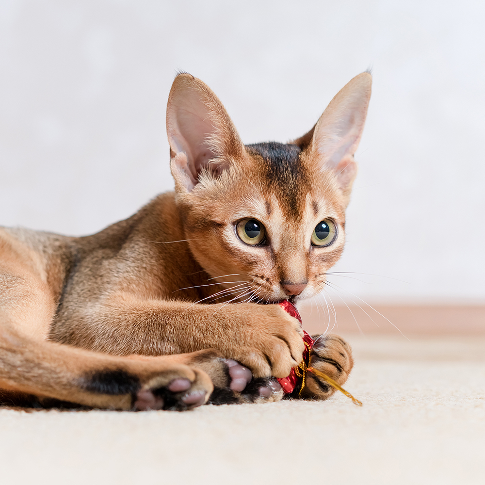 Abyssinian Breeders | Breeder Directory | Cat Bright Classifieds
