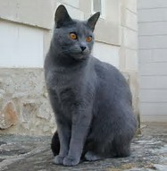 Photo of Chartreux