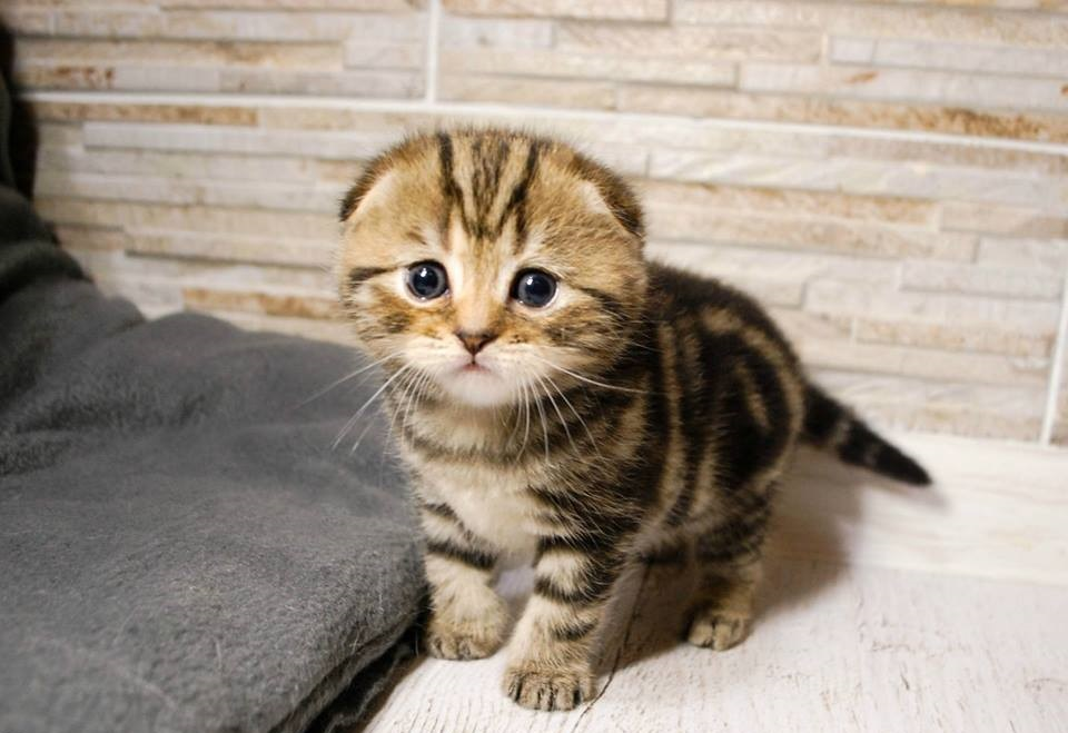 adorable scottish fold kittens for sale - Scottish Fold Kitten for sale in  Miami, Florida | Cat Bright Classifieds