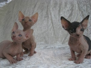 GINA - Sphynx Kitten for sale in Stamford, Connecticut | Cat Bright