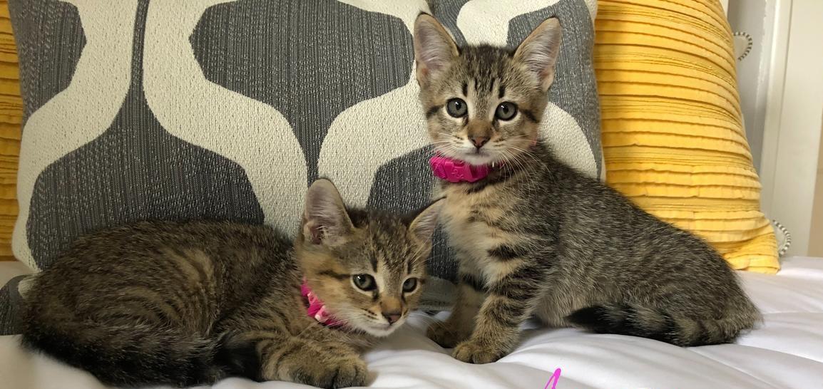 Julia American Shorthair Kitten For Sale In Wellington Florida Cat Bright Classifieds