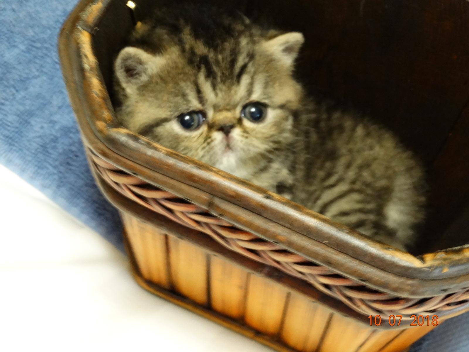 Exotic Shorthair, CFA Brown Tabby - Exotic Shorthair Kitten