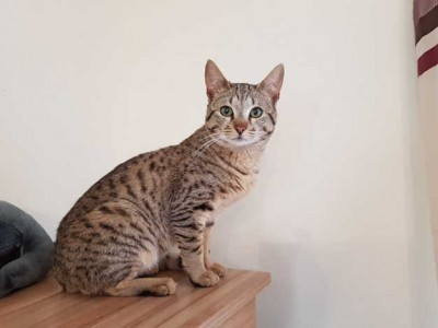 Ocicat for sale