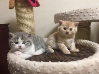 Scottish Fold Kittens with Exellent Pedigree