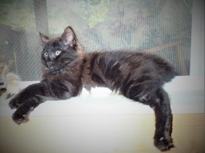 """Titanium"" American Bobtail kitten for sale"