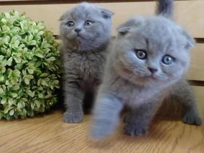 jina - Scottish Fold Kitten for sale in Miami, California