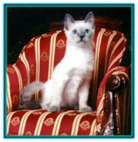 B1 Blue Point Kitten