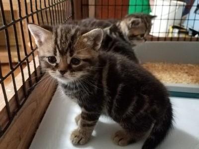 Ravenash Dimond and Brownie Kitten 1