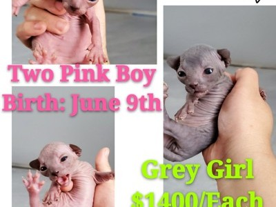 Sphynx Kittens Girl and Boy 10Days Old New York New Jersey