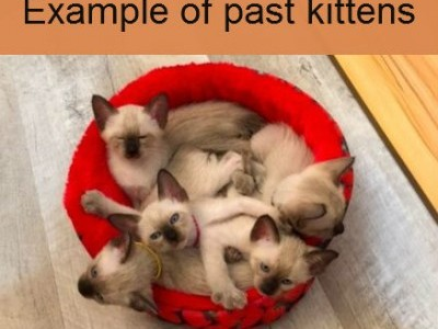 Old-Style Siamese Kittens