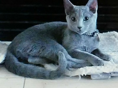 russian blue kittens allentown pa zip code
