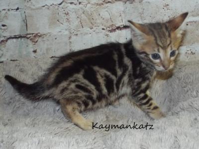 Savannah Kitten Litter