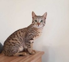 Ocicat for sale