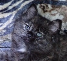 """Galaxia"" American Bobtail Kitten for sale"