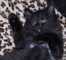 """Orion"" American Bobtail Kitten for sale"