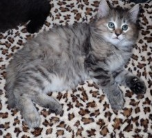 """Titania"" American Bobtail kitten for sale"
