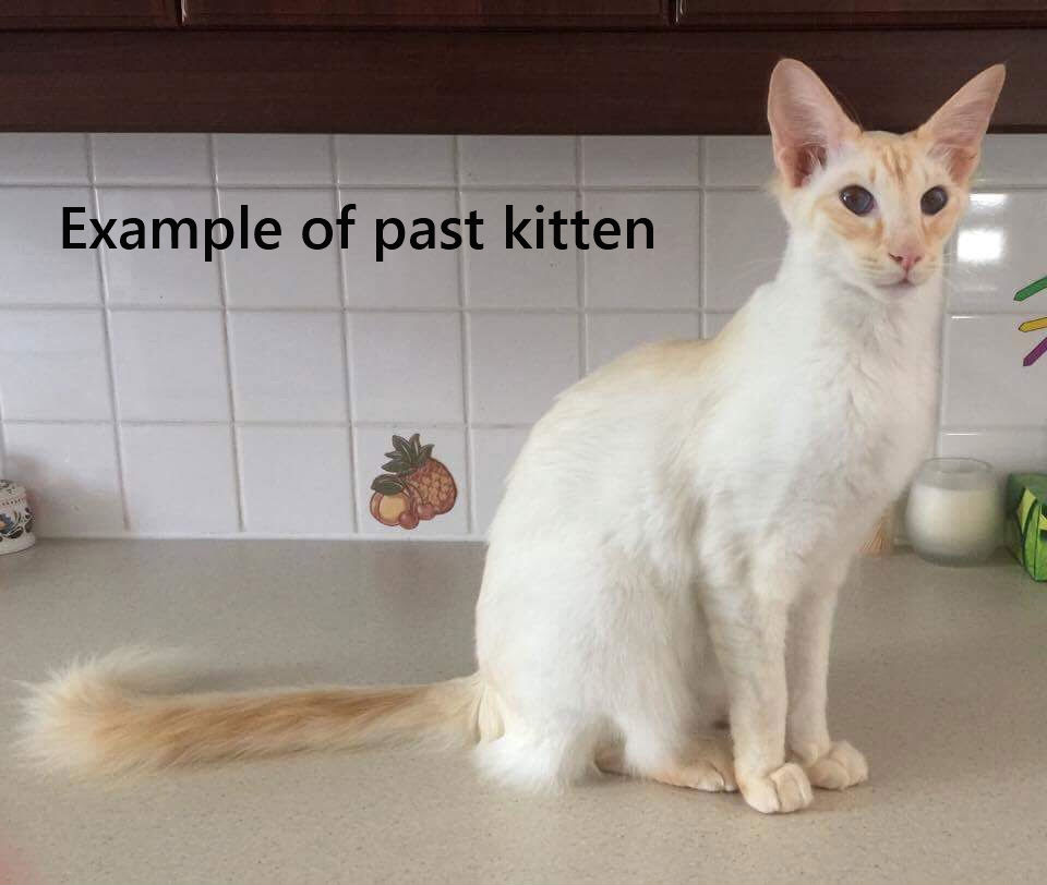 Balinese Kitten - Balinese Kitten for sale in Buffalo, New