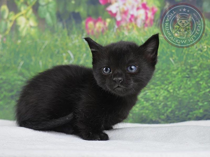 Liam Munchkin Kitten For Sale In Las Vegas Nevada Cat Bright Classifieds