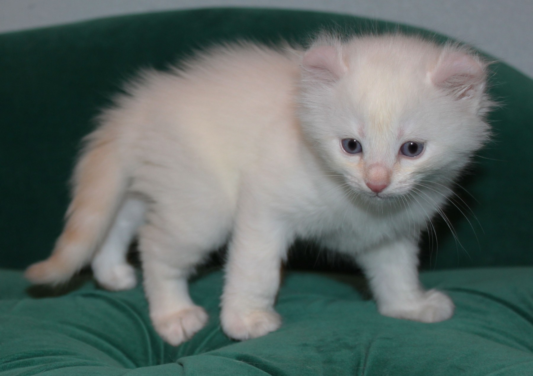 Simon American Curl Kitten for sale in Montgomery Texas