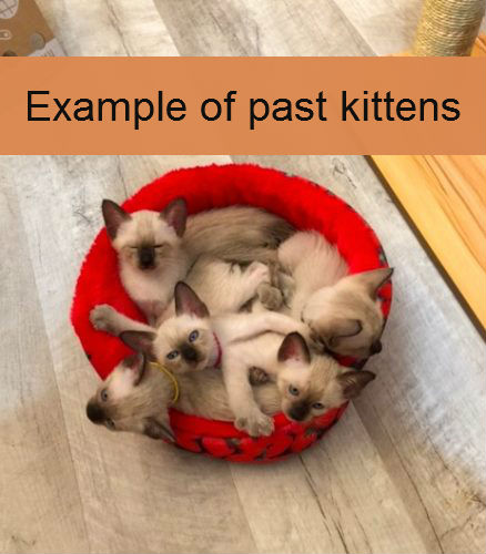 Old-Style Siamese Kittens - Siamese Kitten for sale in Not