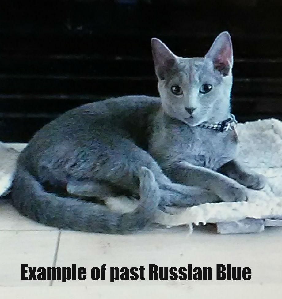Russian Blue Kitten Russian Blue Kitten for sale in Wilmington
