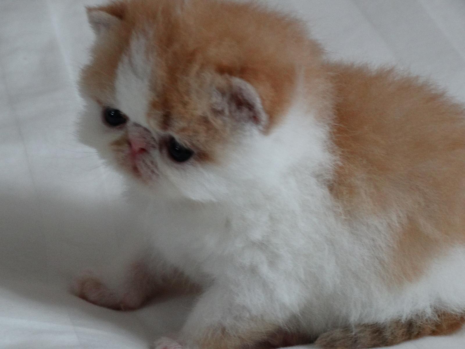 Exotic Cat For Sale Arkansas